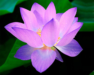 lotus<a href=